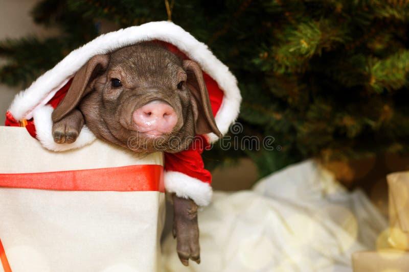 Τα Χριστούγεννα και η νέα κάρτα έτους με το χαριτωμένο νεογέννητο χοίρο santa στο δώρο παρουσιάζουν το κιβώτιο Σύμβολο διακοσμήσε στοκ φωτογραφίες