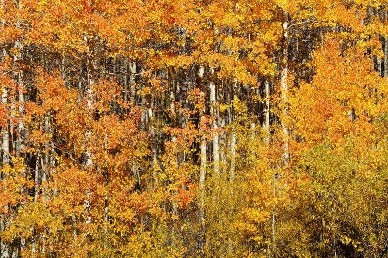 Τα χρώματα φυλλώματος πτώσης χαρακτηρίζουν τη μετατόπιση στις εποχές στην οροσειρά Νεβάδα στοκ εικόνες με δικαίωμα ελεύθερης χρήσης