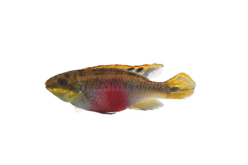 Τα ψάρια ενυδρείων απομόνωσαν άσπρο Pelvicachromis Pulcher Kribensis CI στοκ εικόνα
