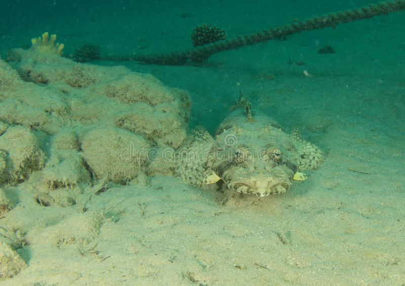 Τα ψάρια καλύπτουν flathead με τάπητα στοκ φωτογραφίες με δικαίωμα ελεύθερης χρήσης