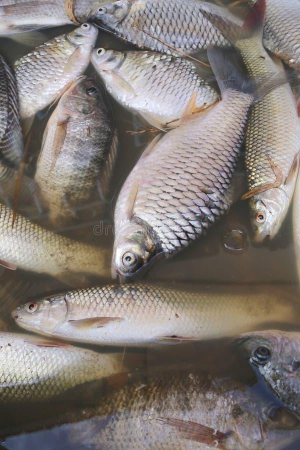Τα ψάρια πέθαναν επειδή λύματα στοκ εικόνα
