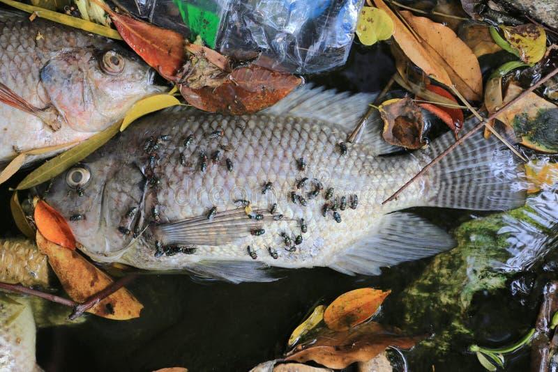 Τα ψάρια πέθαναν επειδή λύματα στοκ εικόνα με δικαίωμα ελεύθερης χρήσης