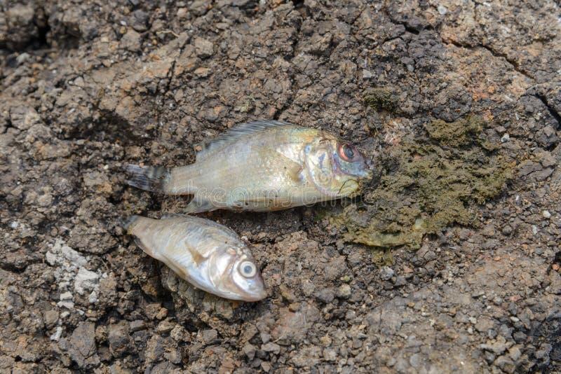 Τα ψάρια πέθαναν στη ραγισμένη γη, έννοια για την ξηρασία στοκ φωτογραφία