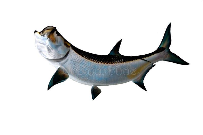 Τα ψάρια τάρπον τοποθετούν στοκ εικόνες