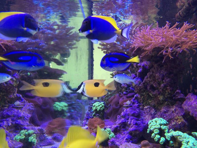 Τα ψάρια τοποθετούν σε δεξαμενή: Το κίτρινο Tang, Hepatus, κονιοποιεί το μπλε, πρόσωπο αλεπούδων στοκ εικόνες