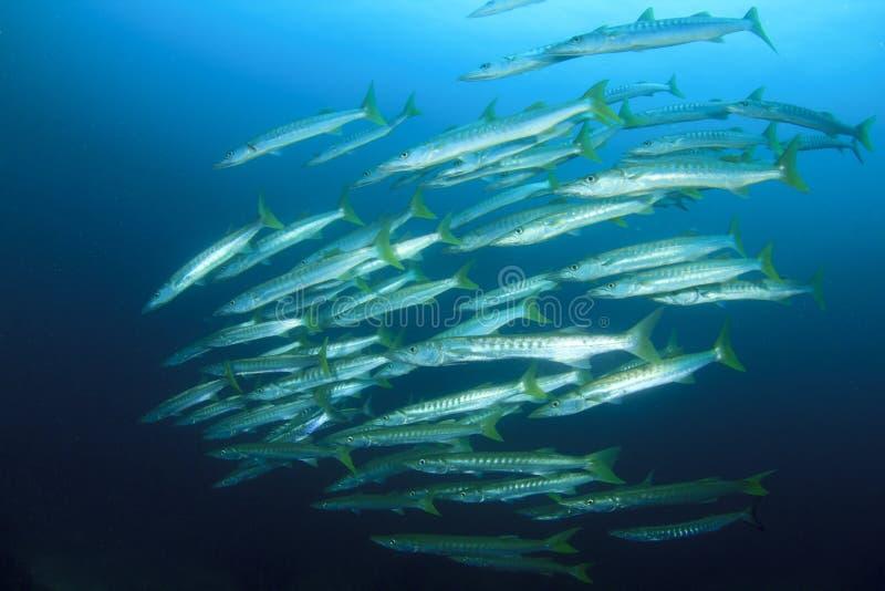 τα ψάρια barracuda οι άγρια περιοχές στοκ εικόνες με δικαίωμα ελεύθερης χρήσης