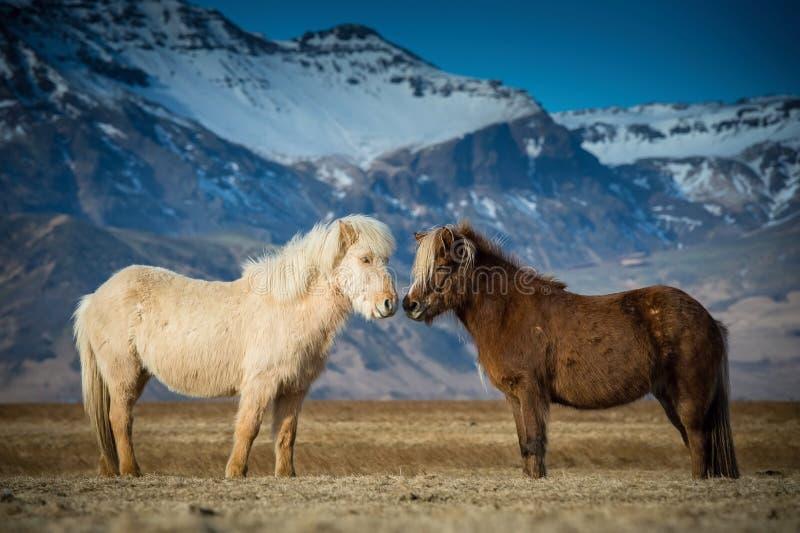 Τα όμορφα άλογα κατά τη διάρκεια των ερωτοτροπιών στοκ φωτογραφία με δικαίωμα ελεύθερης χρήσης