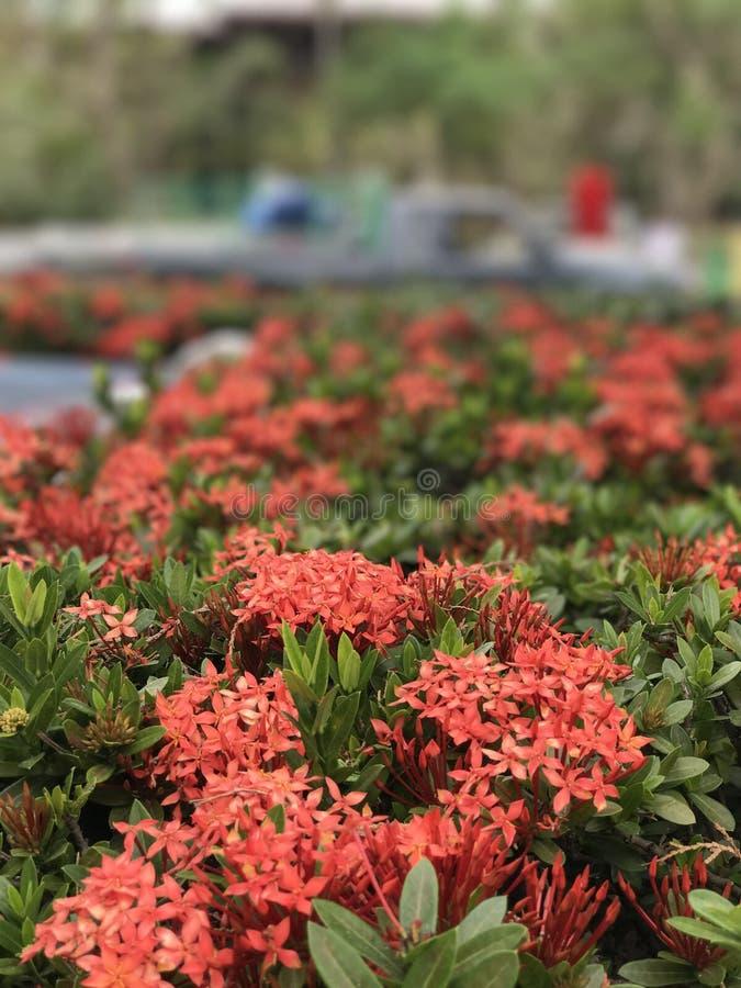 Τα όμορφα κόκκινα λουλούδια στοκ εικόνα