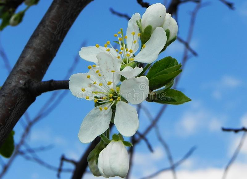 Τα όμορφα λουλούδια εγκαταστάσεων καλλιεργούν την άνοιξη Οι οφθαλμοί άνοιξη άνθισαν και οι μέλισσες και τα έντομα πέταξαν στη μυρ στοκ φωτογραφία
