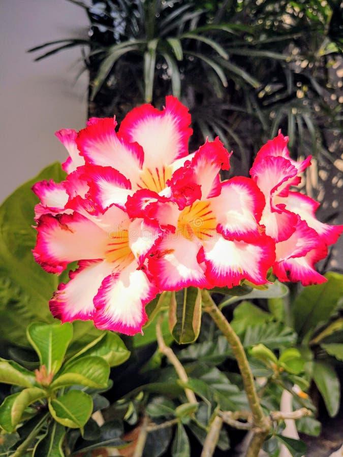 τα όμορφα λουλούδια καλλιεργούν ροζ στοκ φωτογραφία