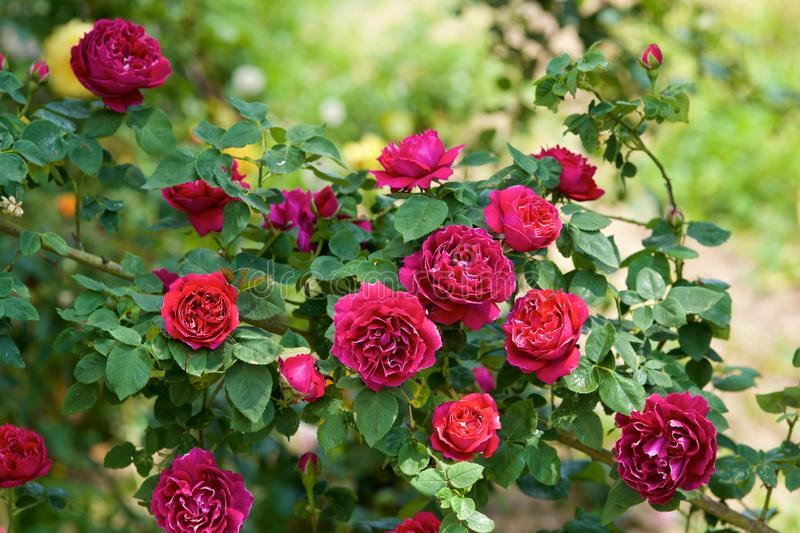 Τα όμορφα λουλούδια της φυτείας με τριανταφυλλιές άνθισαν στοκ εικόνες