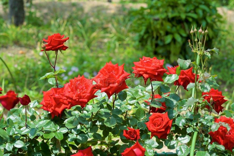 Τα όμορφα λουλούδια της φυτείας με τριανταφυλλιές άνθισαν στοκ φωτογραφία με δικαίωμα ελεύθερης χρήσης