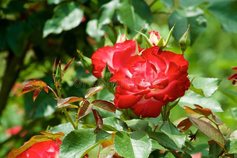 Τα όμορφα λουλούδια της φυτείας με τριανταφυλλιές άνθισαν στοκ εικόνες με δικαίωμα ελεύθερης χρήσης