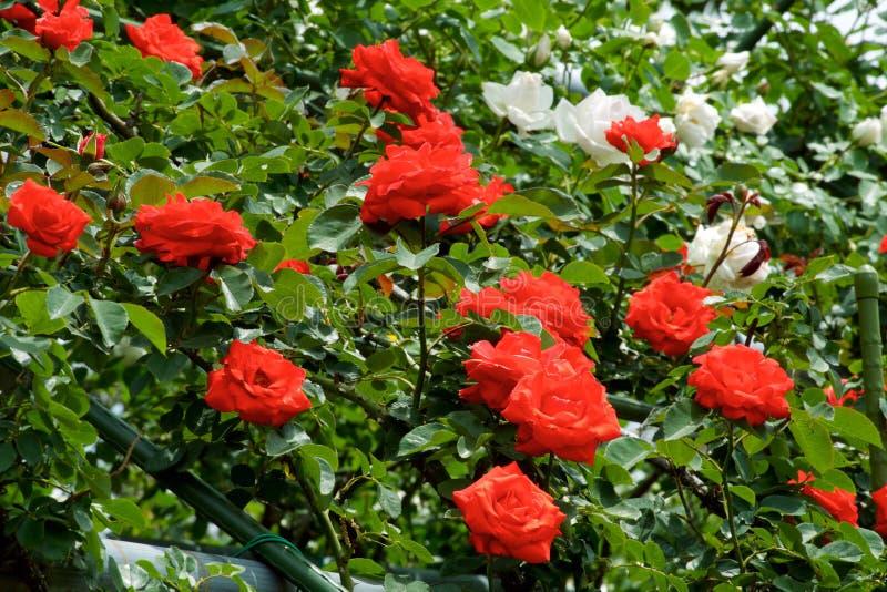 Τα όμορφα λουλούδια της φυτείας με τριανταφυλλιές άνθισαν στοκ φωτογραφία