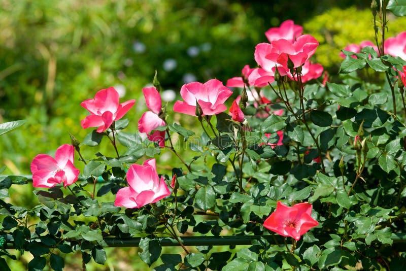 Τα όμορφα λουλούδια της φυτείας με τριανταφυλλιές άνθισαν στοκ εικόνα με δικαίωμα ελεύθερης χρήσης