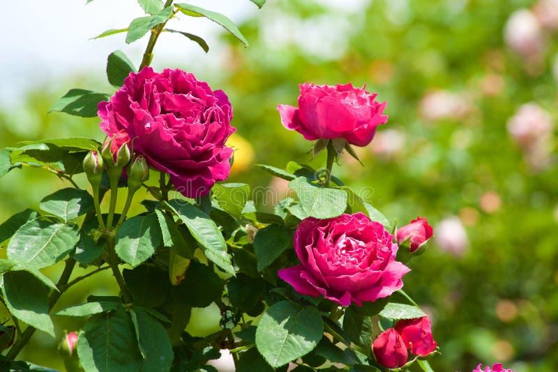 Τα όμορφα λουλούδια της φυτείας με τριανταφυλλιές άνθισαν στοκ φωτογραφίες με δικαίωμα ελεύθερης χρήσης