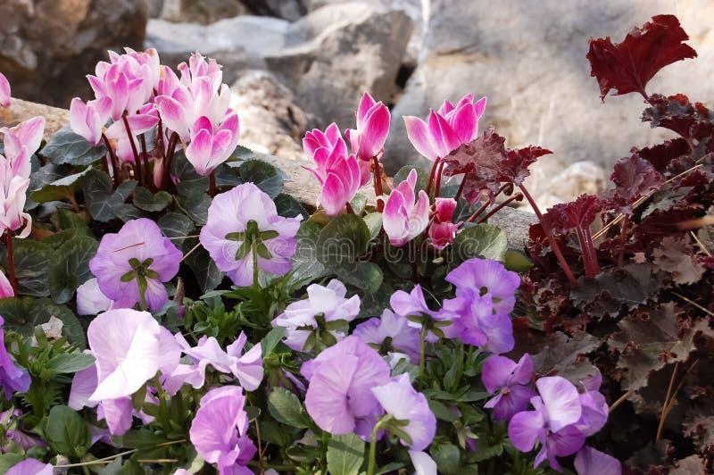Τα όμορφα λουλούδια του ροζ και πορφυρά pansies κοντά στο s στοκ φωτογραφίες με δικαίωμα ελεύθερης χρήσης