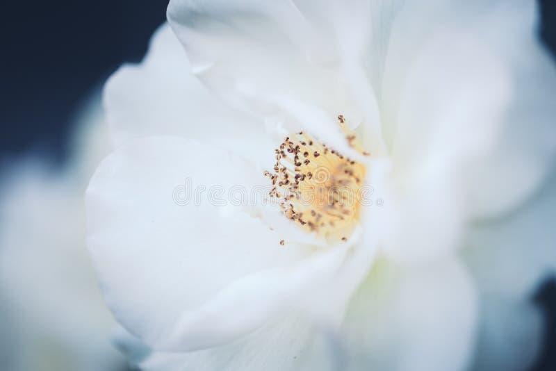 Τα όμορφα ονειροπόλα μαγικά άσπρα μπεζ κρεμώδη τριαντάφυλλα νεράιδων ανθίζουν στο εξασθενισμένο μουτζουρωμένο πράσινο μπλε υπόβαθ στοκ εικόνες