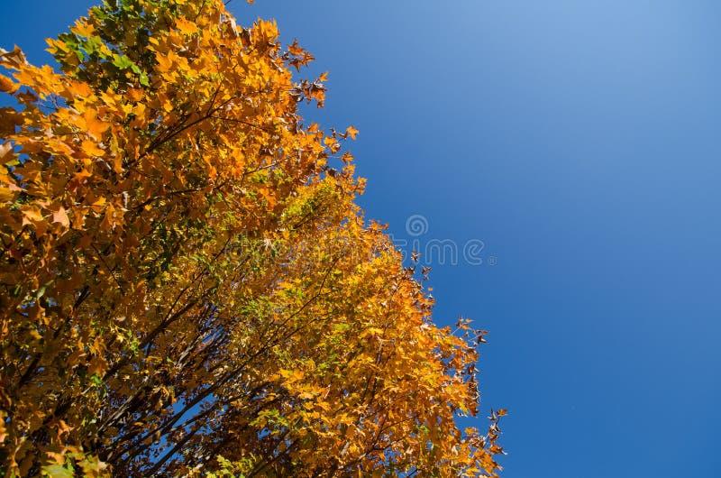 Τα όμορφα πορτοκαλιά φύλλα σφενδάμου πτώσης σε ένα δέντρο, άφησαν ευθυγραμμισμένος για το αντίγραφο στοκ εικόνες