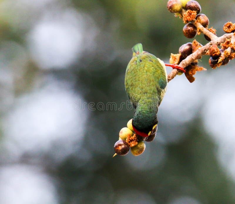 Τα όμορφα πουλιά στην Ταϊλάνδη όπως την κατανάλωση των ώριμων φρούτων και πολλών από τα είναι ανά τα ζευγάρια στοκ εικόνα με δικαίωμα ελεύθερης χρήσης