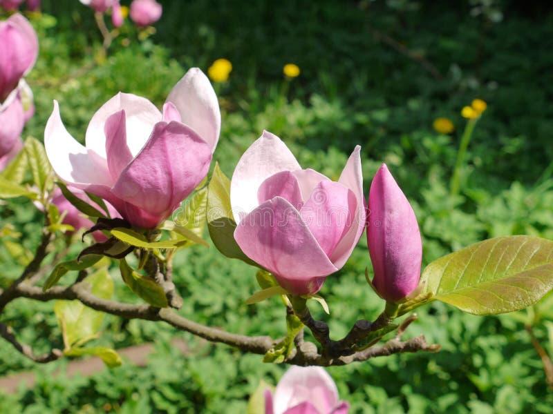 Τα όμορφα ρόδινα λουλούδια magnolia στον κλάδο θαυμάζουν το μάτι την πρώιμη άνοιξη στοκ φωτογραφία με δικαίωμα ελεύθερης χρήσης