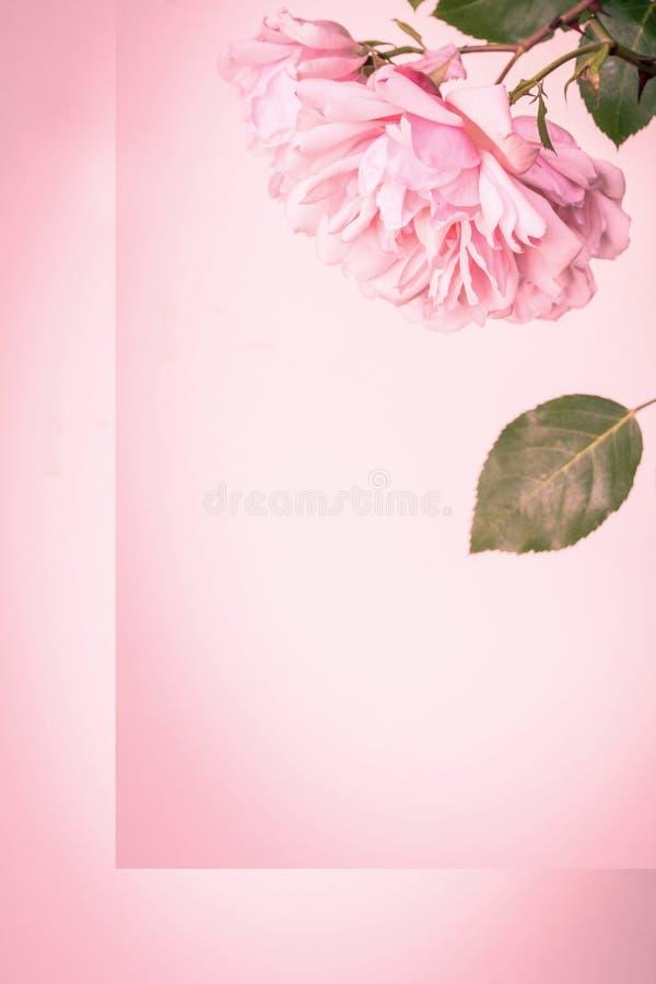 Τα όμορφα ρόδινα τριαντάφυλλα, κλείνουν επάνω τα κεφάλια λουλουδιών και τα πέταλα στο ρόδινο καλλιτεχνικό υπόβαθρο στοκ εικόνες