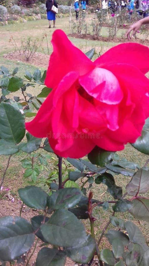Τα όμορφα φυσικά κόκκινα χρώματα αυξήθηκαν λουλούδια της Σρι Λάνκα στοκ εικόνες με δικαίωμα ελεύθερης χρήσης