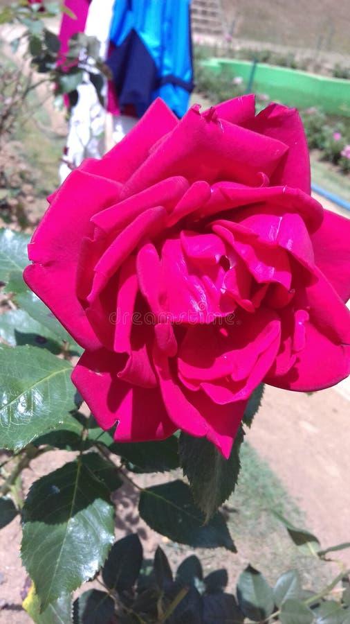 Τα όμορφα φυσικά κόκκινα χρώματα αυξήθηκαν λουλούδια της Σρι Λάνκα στοκ εικόνα με δικαίωμα ελεύθερης χρήσης