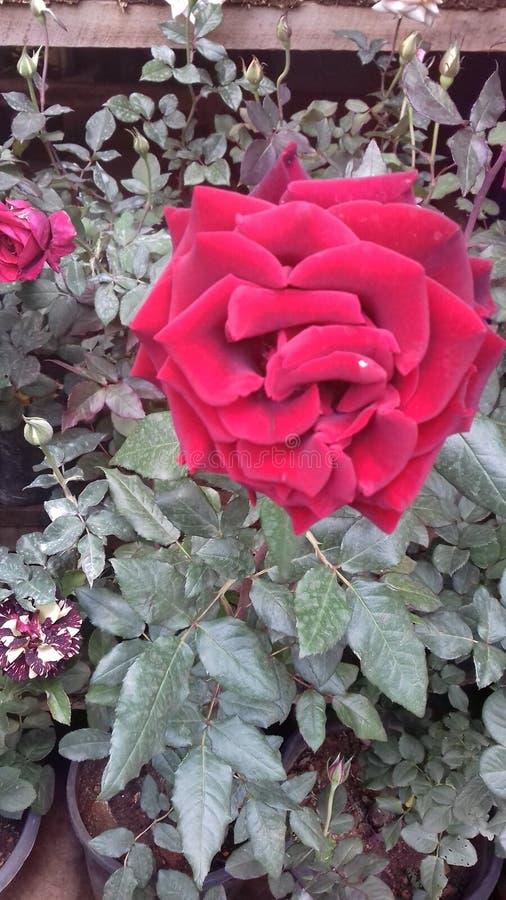 Τα όμορφα φυσικά κόκκινα χρώματα αυξήθηκαν λουλούδια της Σρι Λάνκα στοκ φωτογραφία με δικαίωμα ελεύθερης χρήσης