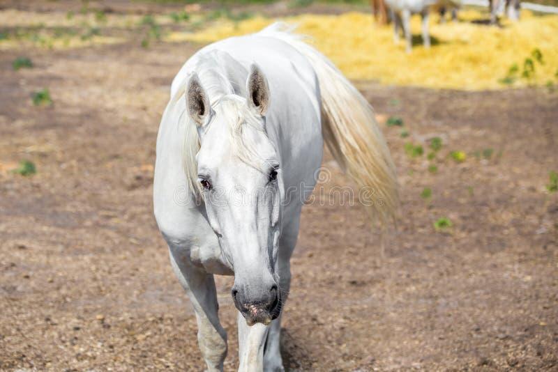 Τα όμορφα thoroughbred άλογα που περπατούν και που βόσκουν στο αγρόκτημα συγκεντρώνουν ειδυλλιακό τοπίο της Βουλγαρίας Ευρώπη boj στοκ φωτογραφία με δικαίωμα ελεύθερης χρήσης