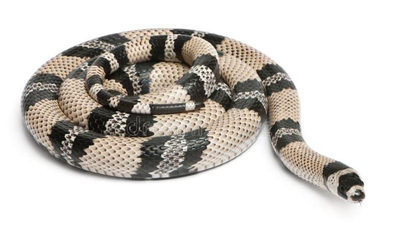 τα anerytristic honduran lampropeltis αρμέγουν το φίδι στοκ φωτογραφία με δικαίωμα ελεύθερης χρήσης
