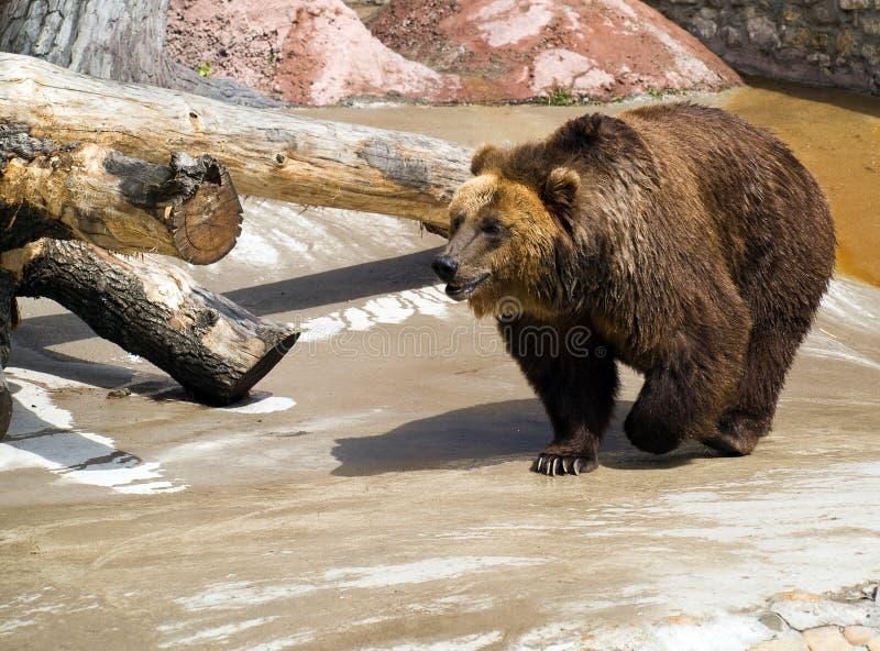 τα arctos αντέχουν το καφετί ursus στοκ φωτογραφία