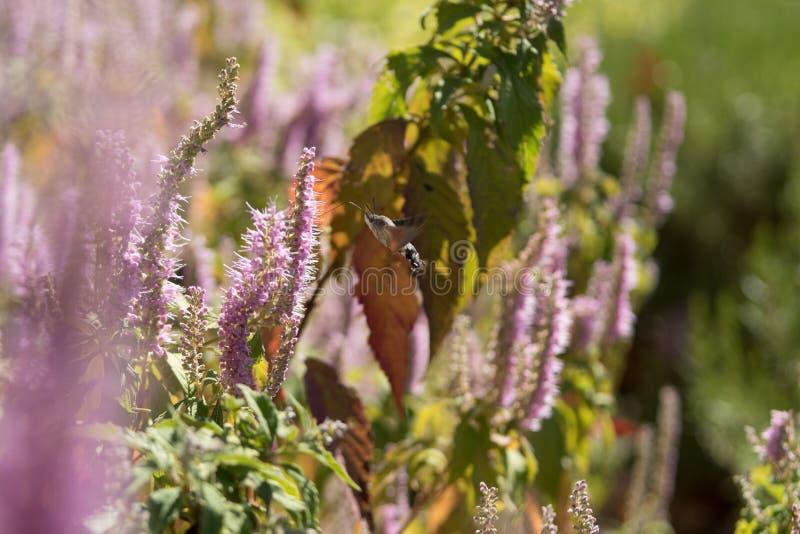 Τα atropos Acherontia πετούν και πίνουν το νέκταρ από τα λουλούδια στοκ φωτογραφίες με δικαίωμα ελεύθερης χρήσης