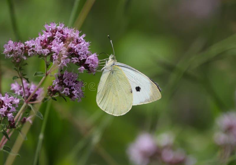 Τα brassicae Pieris, μεγάλος ο άσπρος, κάλεσαν επίσης την πεταλούδα λάχανων, λευκό λάχανων, σκώρος λάχανων, λανθασμένα στοκ εικόνες με δικαίωμα ελεύθερης χρήσης