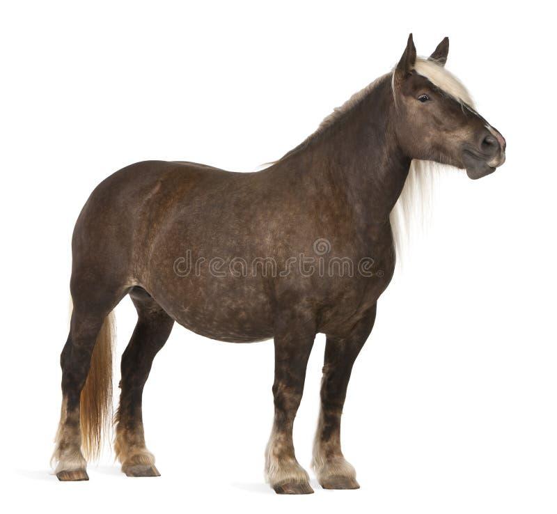 τα comtois caballus συντάσσουν το άλο&gam στοκ φωτογραφία