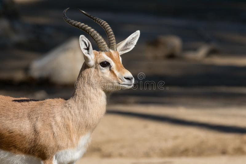 Τα dorcas Gazella dorcas gazelle στοκ φωτογραφίες