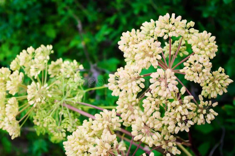 Τα Globular umbels του archangelica της Angelica, angelica κήπων ή του άγριου λευκού σέλινου ανθίζουν στοκ φωτογραφίες με δικαίωμα ελεύθερης χρήσης