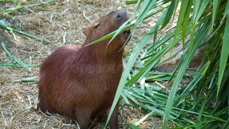 Τα hydrochaeris Hydrochoerus Capybara είναι μεγάλο τρωκτικό του γένους στοκ εικόνες με δικαίωμα ελεύθερης χρήσης