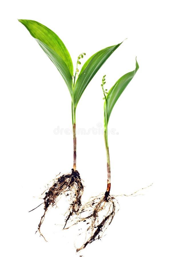 τα majalis κρίνων convallaria μπορούν στοκ φωτογραφία με δικαίωμα ελεύθερης χρήσης
