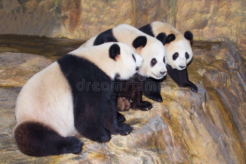 τα pandas γραμμών κάθονται τρία στοκ εικόνες
