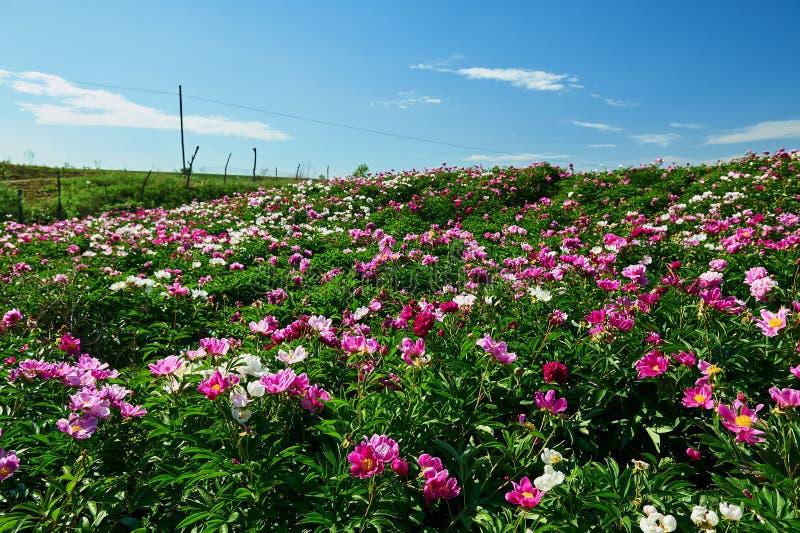Τα peony λουλούδια στους τομείς θορίου στοκ φωτογραφία με δικαίωμα ελεύθερης χρήσης