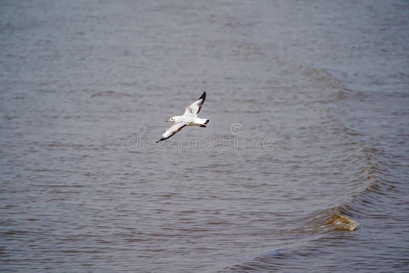 Τα Seagull πουλιά στο δάσος παραλιών και μαγγροβίων στη χώρα της Ταϊλάνδης στοκ εικόνες
