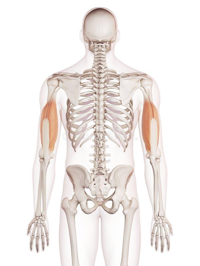 Τα triceps διανυσματική απεικόνιση