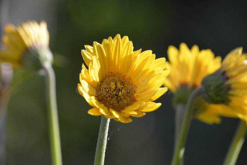 Τα wildflowers της αφρικανικής Daisy προσελκύουν τα κολίβρια, της μέλισσας και όλα τα είδη πουλιών στοκ εικόνα με δικαίωμα ελεύθερης χρήσης