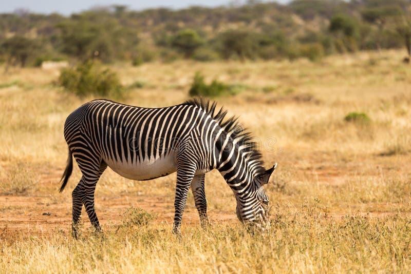 Τα zebras Grevy βόσκουν στην επαρχία Samburu στην Κένυα στοκ φωτογραφίες