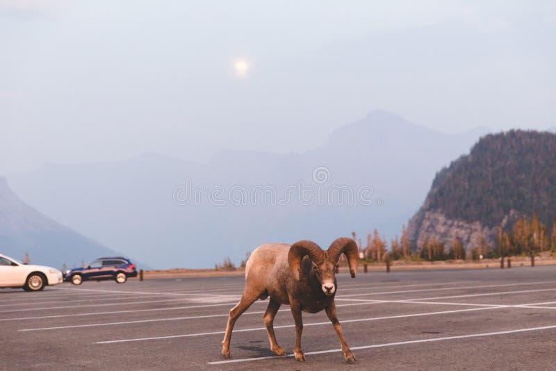 Τεράστια πρόβατα Bighorn στο εθνικό πάρκο παγετώνων στοκ εικόνες