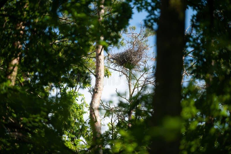 Τεράστια φωλιά του γκρίζου ερωδιού στους τοπ κλάδους του δέντρου στοκ εικόνες