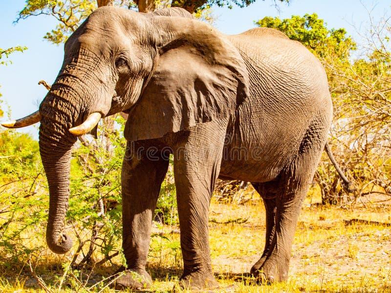 Τεράστιος αφρικανικός ελέφαντας την ηλιόλουστη ημέρα στη σαβάνα στοκ φωτογραφία με δικαίωμα ελεύθερης χρήσης
