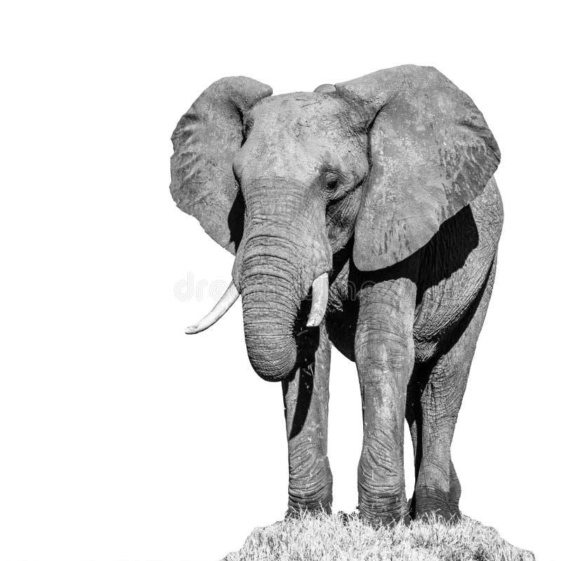 Τεράστιος αφρικανικός ελέφαντας που απομονώνεται στο άσπρο υπόβαθρο στοκ εικόνα με δικαίωμα ελεύθερης χρήσης