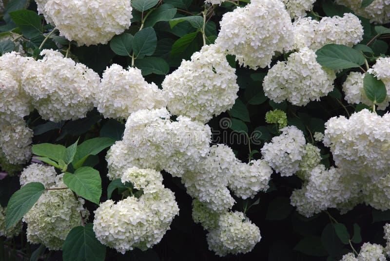 Τεράστιος θάμνος των ανθίζοντας άσπρων πράσινων λουλουδιών hydrangea στο θερινό κήπο στοκ εικόνα με δικαίωμα ελεύθερης χρήσης